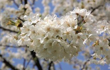 fiori_ciliegio
